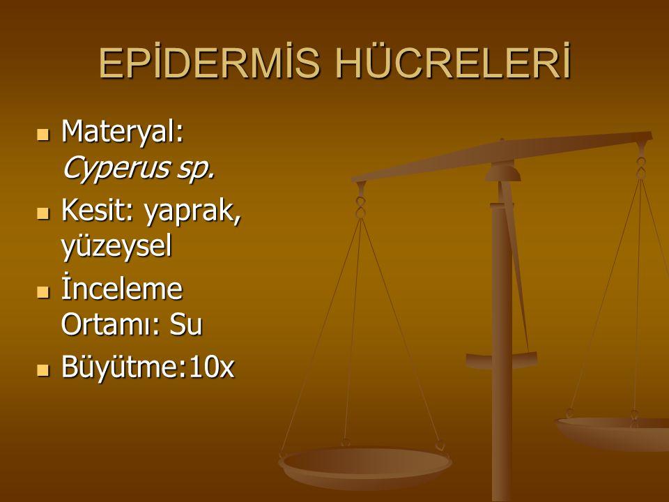 EPİDERMİS HÜCRELERİ Materyal: Cyperus sp. Materyal: Cyperus sp. Kesit: yaprak, yüzeysel Kesit: yaprak, yüzeysel İnceleme Ortamı: Su İnceleme Ortamı: S