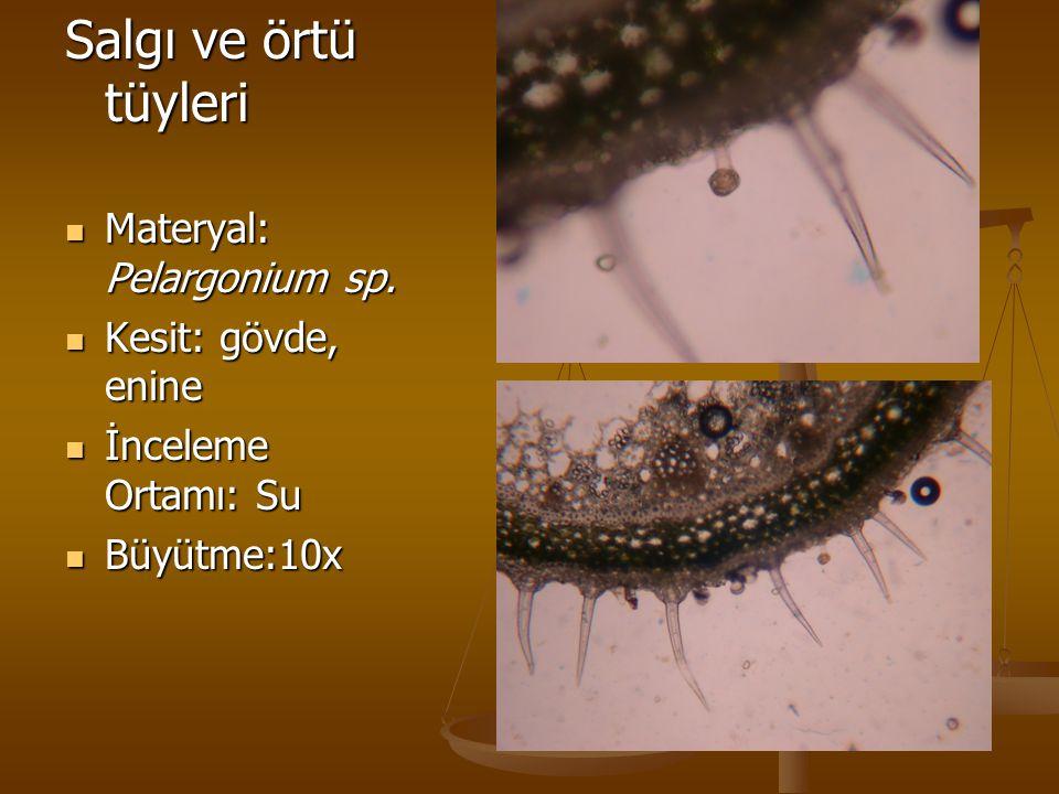 Salgı ve örtü tüyleri Materyal: Pelargonium sp. Materyal: Pelargonium sp. Kesit: gövde, enine Kesit: gövde, enine İnceleme Ortamı: Su İnceleme Ortamı: