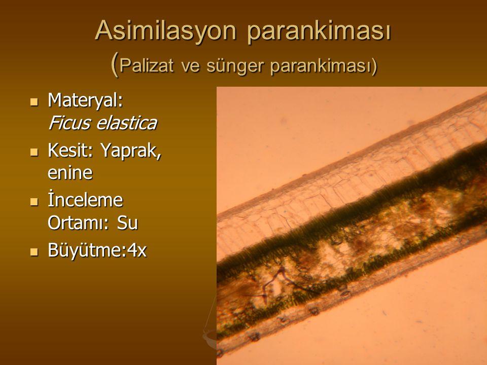 Asimilasyon parankiması ( Palizat ve sünger parankiması) Materyal: Ficus elastica Materyal: Ficus elastica Kesit: Yaprak, enine Kesit: Yaprak, enine İ