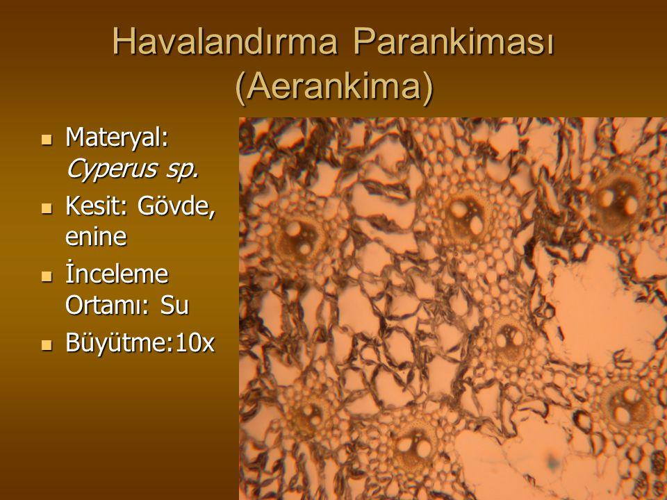 Havalandırma Parankiması (Aerankima) Materyal: Cyperus sp. Materyal: Cyperus sp. Kesit: Gövde, enine Kesit: Gövde, enine İnceleme Ortamı: Su İnceleme