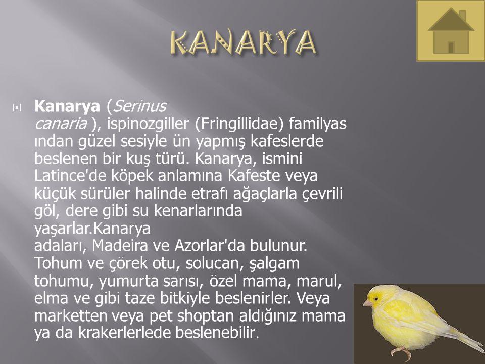  Kanarya (Serinus canaria ), ispinozgiller (Fringillidae) familyas ından güzel sesiyle ün yapmış kafeslerde beslenen bir kuş türü. Kanarya, ismini La