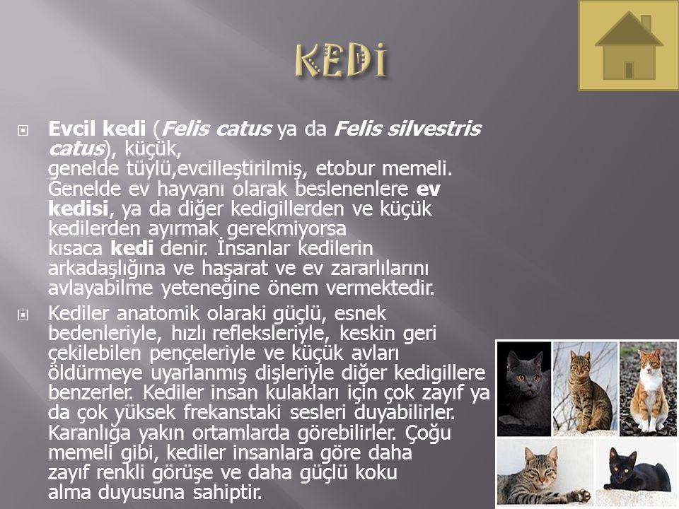  Evcil kedi (Felis catus ya da Felis silvestris catus), küçük, genelde tüylü,evcilleştirilmiş, etobur memeli. Genelde ev hayvanı olarak beslenenlere