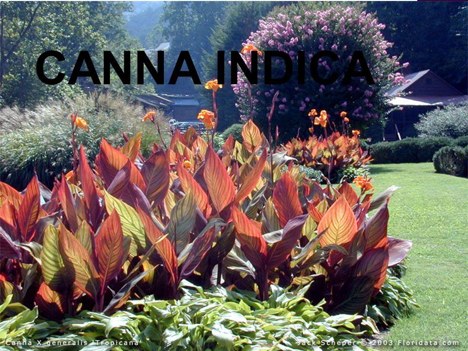 Familyasi: Cannaceae Botanik ismi: Canna indica Türkçe ismi: Tesbih çiçeği