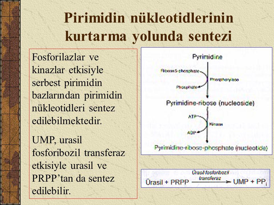 Pirimidin nükleotidlerinin kurtarma yolunda sentezi Fosforilazlar ve kinazlar etkisiyle serbest pirimidin bazlarından pirimidin nükleotidleri sentez e