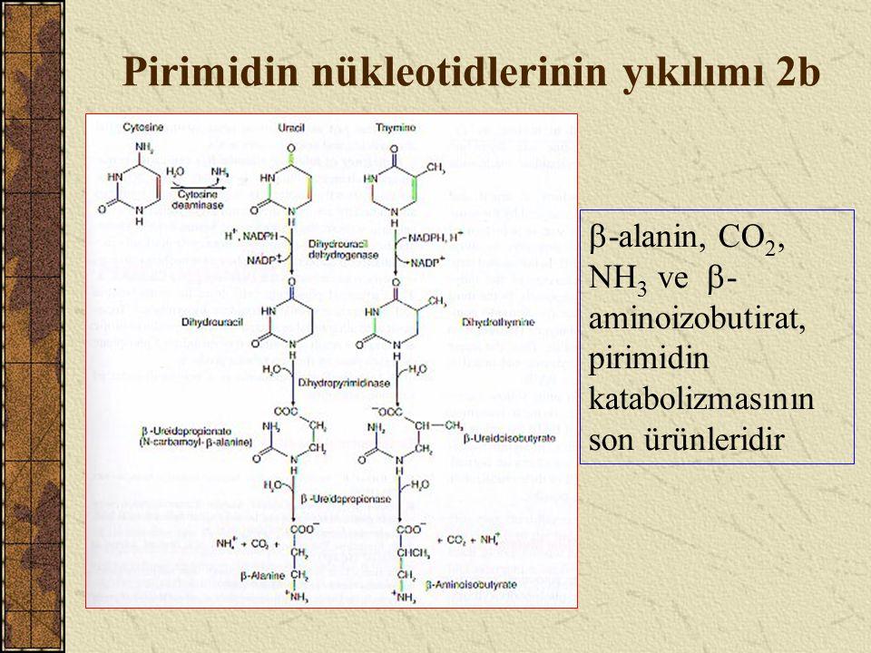 Pirimidin nükleotidlerinin yıkılımı 2b  -alanin, CO 2, NH 3 ve  - aminoizobutirat, pirimidin katabolizmasının son ürünleridir