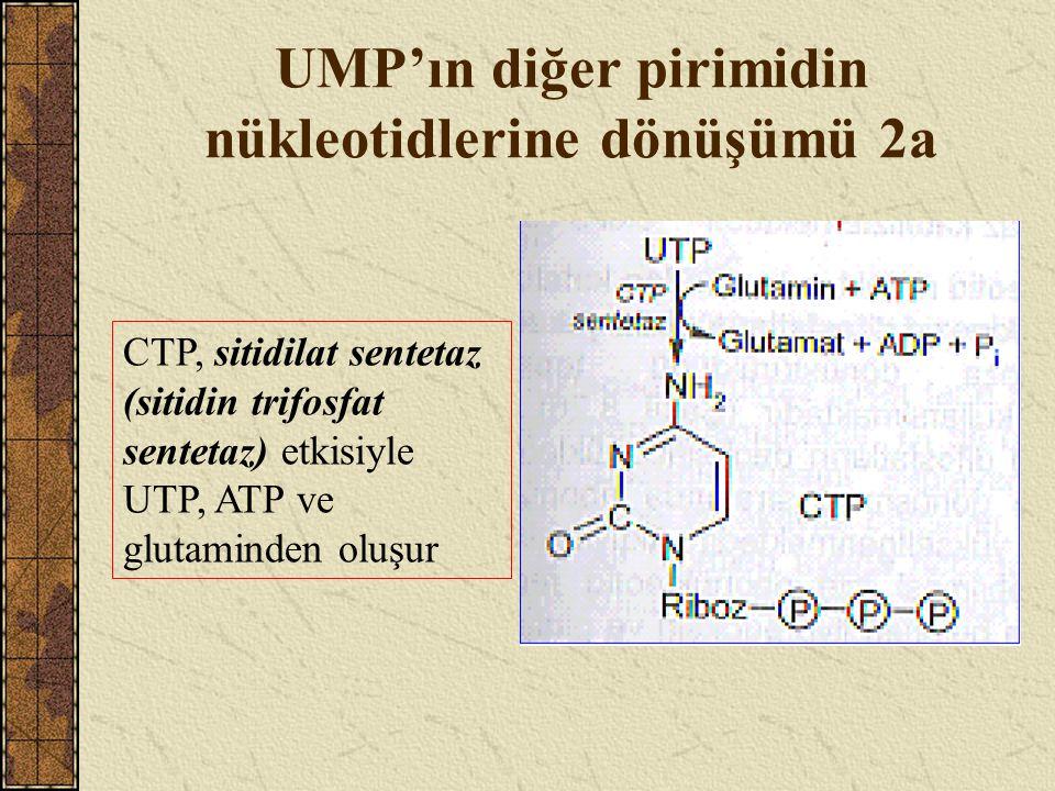 UMP'ın diğer pirimidin nükleotidlerine dönüşümü 2a CTP, sitidilat sentetaz (sitidin trifosfat sentetaz) etkisiyle UTP, ATP ve glutaminden oluşur