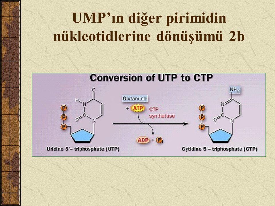 UMP'ın diğer pirimidin nükleotidlerine dönüşümü 3a dUMP, CDP ve UDP üzerinden sentezlenir.