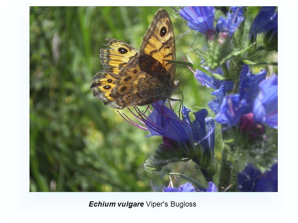 Echium vulgare Viper s Bugloss