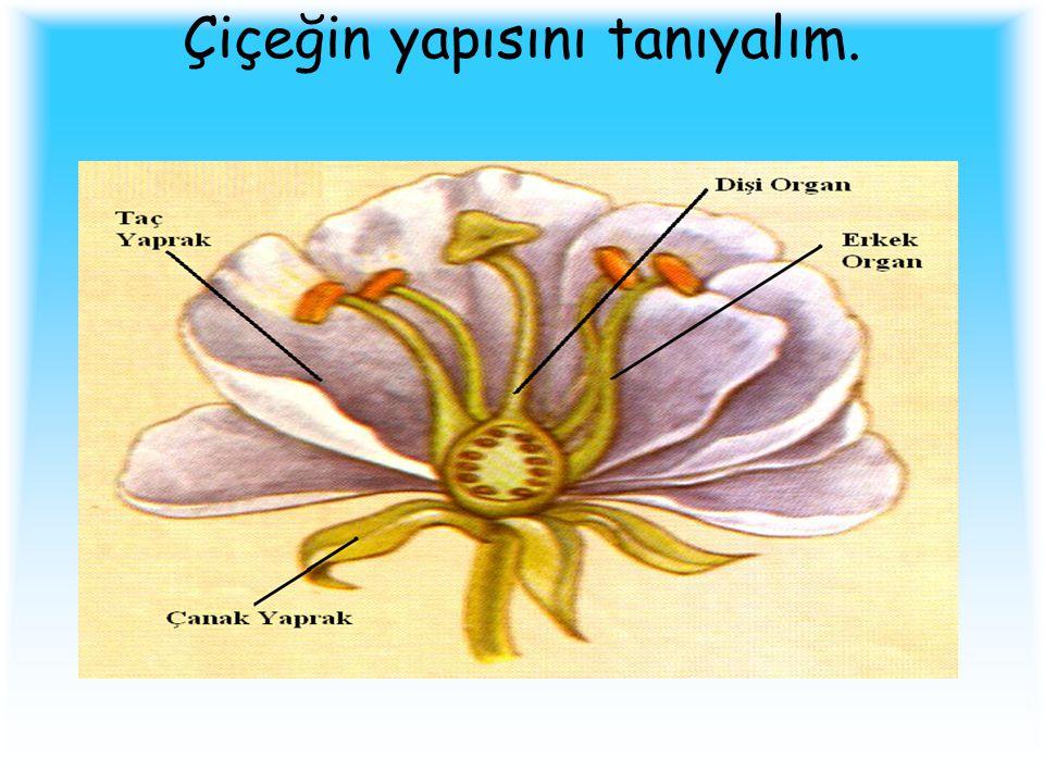 Erkek organ Dişi organ Taç Yaprak
