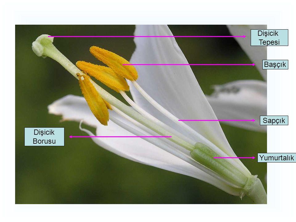 Tohum Meyve Asclepias fascicularis; Mexican Whorled Milkweed2