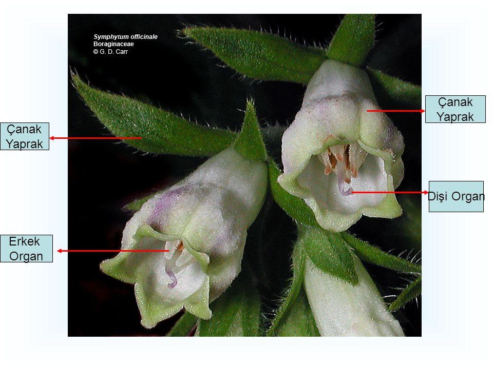 Atropa belladona; Deadly Nightshade