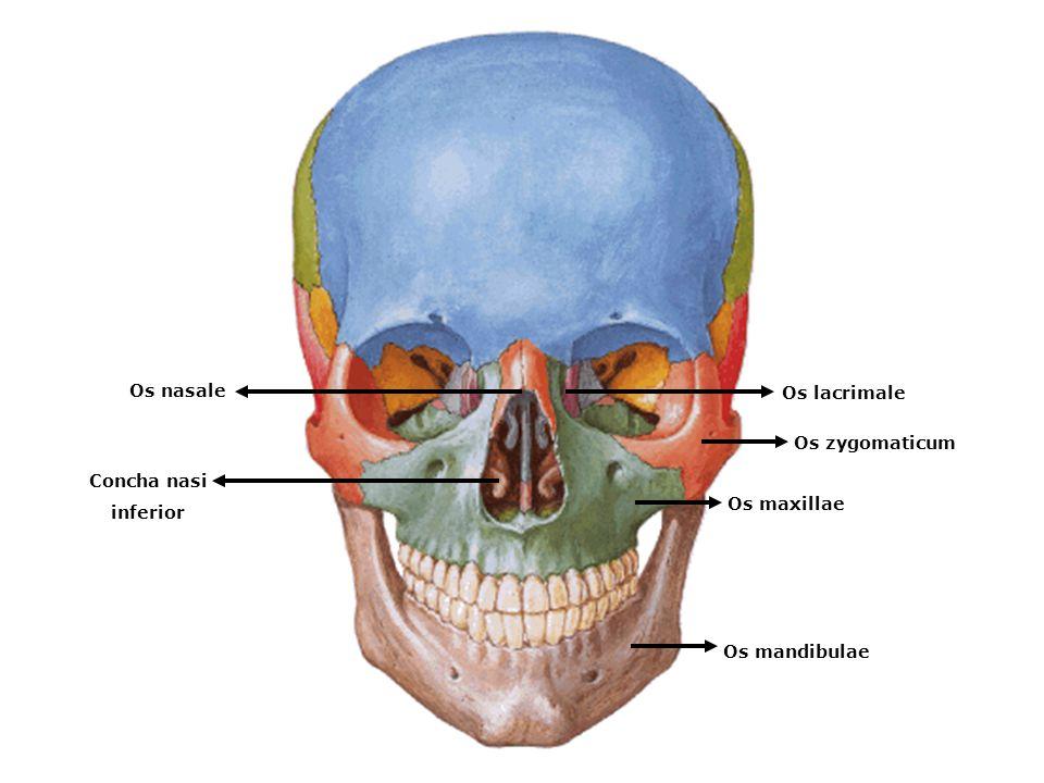 Os maxillae Os zygomaticum Os lacrimale Os nasale Concha nasi inferior Os mandibulae