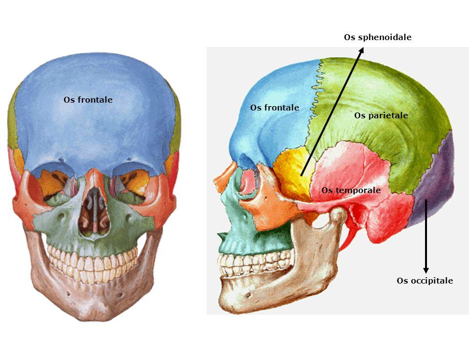 Os frontale Os parietale Os temporale Os occipitale Os sphenoidale