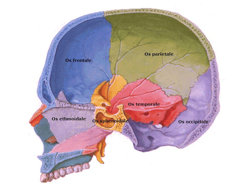 Os frontale Os parietale Os temporale Os occipitale Os sphenoidale Os ethmoidale