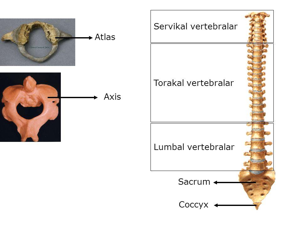 Atlas Axis Servikal vertebralar Torakal vertebralar Lumbal vertebralar Sacrum Coccyx