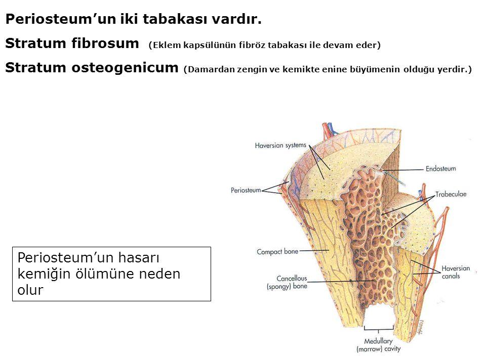 Periosteum'un iki tabakası vardır. Stratum fibrosum (Eklem kapsülünün fibröz tabakası ile devam eder) Stratum osteogenicum (Damardan zengin ve kemikte