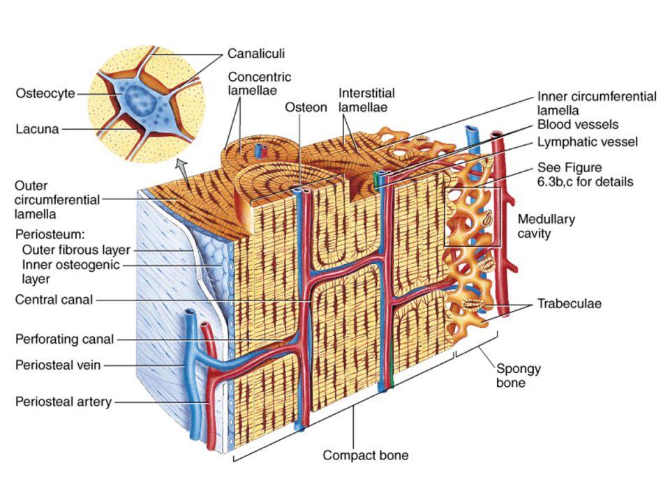 Kemiğin iç boşluklarının duvarları endosteum ile örtülüdür
