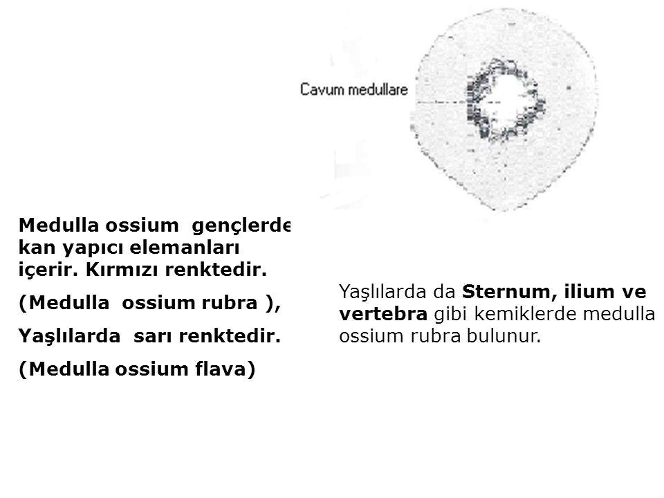 Medulla ossium gençlerde kan yapıcı elemanları içerir. Kırmızı renktedir. (Medulla ossium rubra ), Yaşlılarda sarı renktedir. (Medulla ossium flava) Y