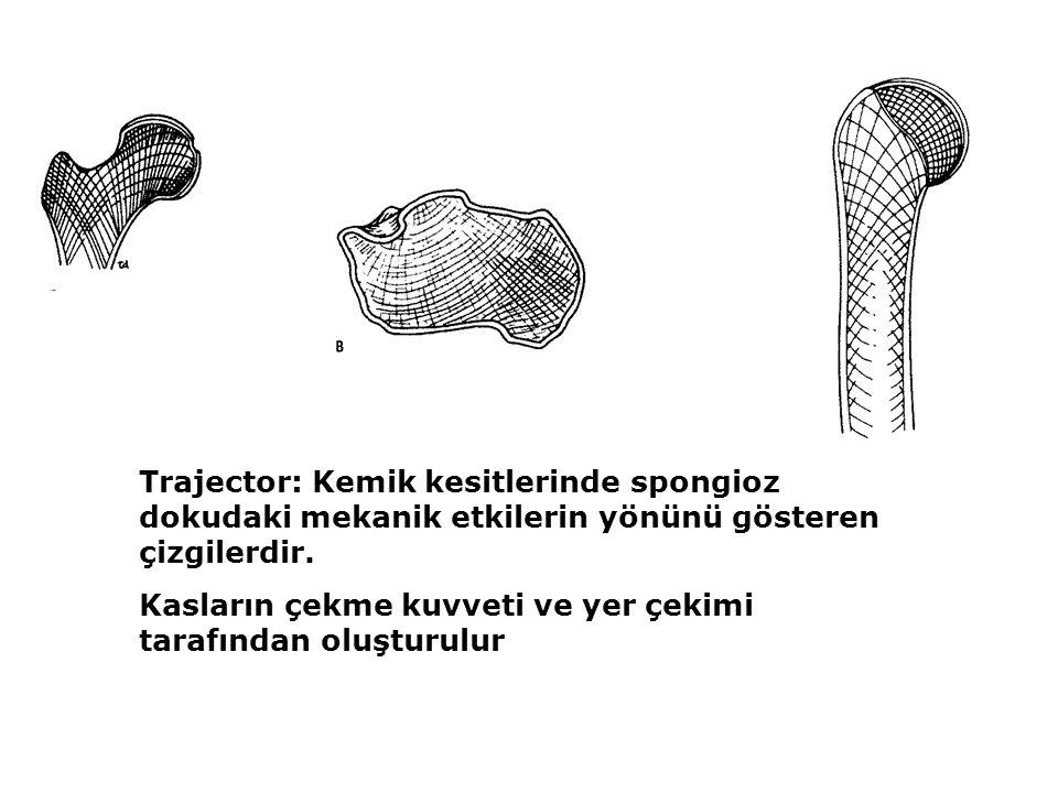 Trajector: Kemik kesitlerinde spongioz dokudaki mekanik etkilerin yönünü gösteren çizgilerdir. Kasların çekme kuvveti ve yer çekimi tarafından oluştur