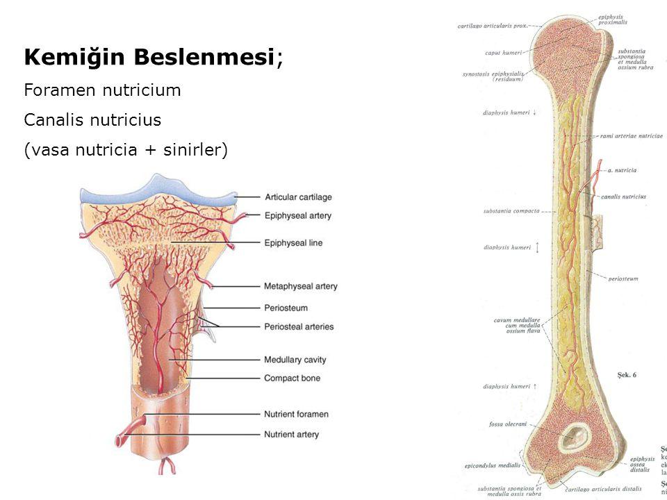 Kemiğin Beslenmesi; Foramen nutricium Canalis nutricius (vasa nutricia + sinirler)