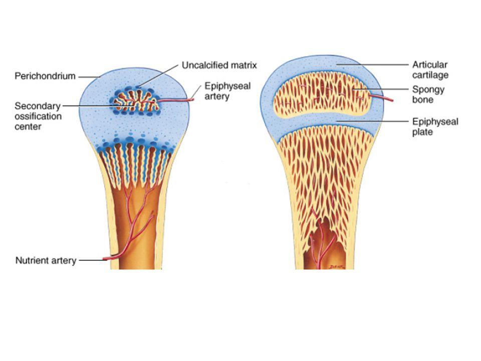 Epifiz Uzun kemiklerin uçları DiafizUzun kemiklerin gövdesi Metafiz epifiz ile diafiz arasında kemik gelişiminin olduğu bölge