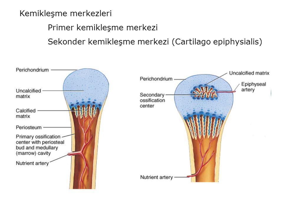 Kemikleşme merkezleri Primer kemikleşme merkezi Sekonder kemikleşme merkezi (Cartilago epiphysialis)