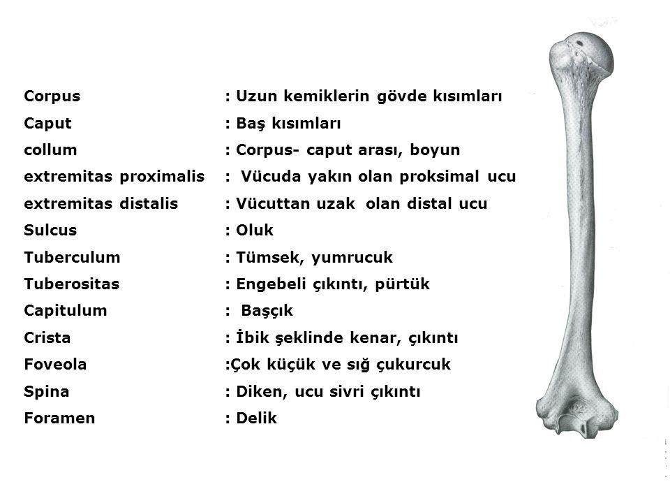 Corpus: Uzun kemiklerin gövde kısımları Caput: Baş kısımları collum : Corpus- caput arası, boyun extremitas proximalis: Vücuda yakın olan proksimal uc