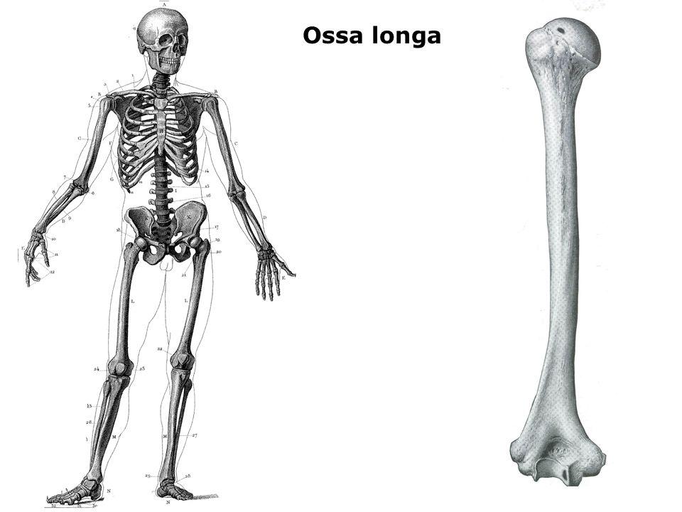 Ossa longa