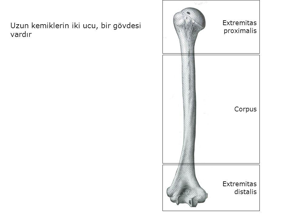 Uzun kemiklerin iki ucu, bir gövdesi vardır Extremitas proximalis Corpus Extremitas distalis