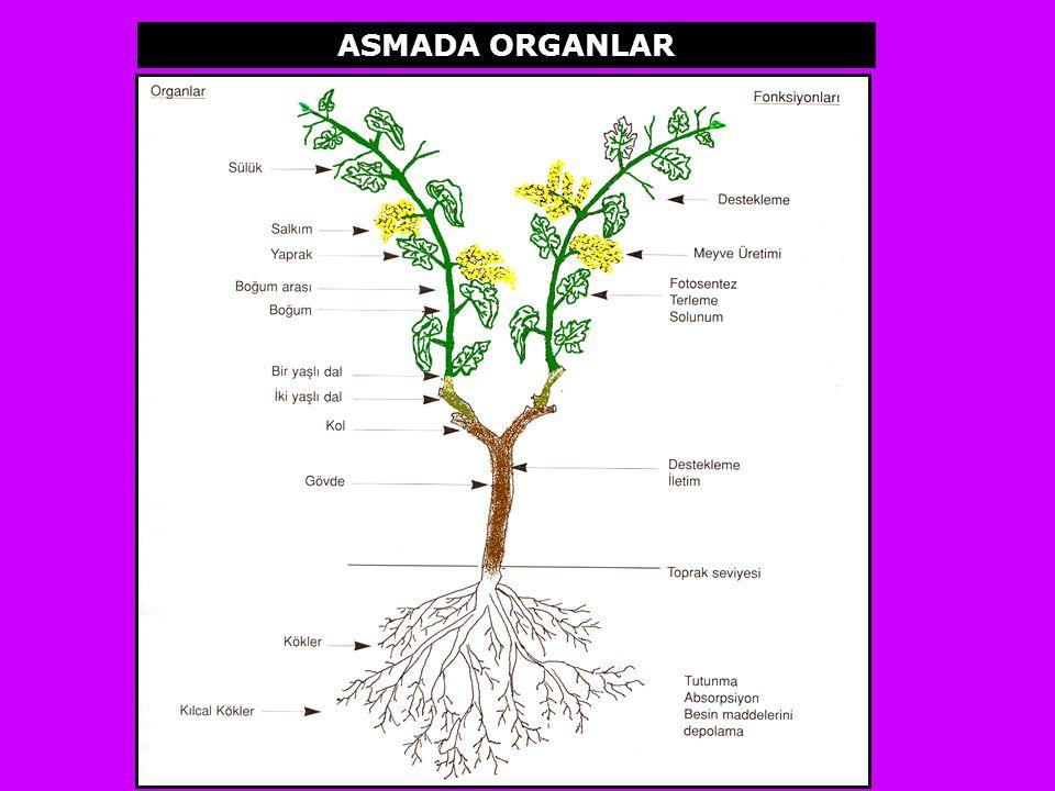 YAPRAK Ampelografi; Asma tür ve çeşitlerini inceleyen bilim dalı kapsamında yapraklar, morfolojik, biyokimyasal ve geometrik özellikleri ile birinci derecede dikkate alınan organlardır.