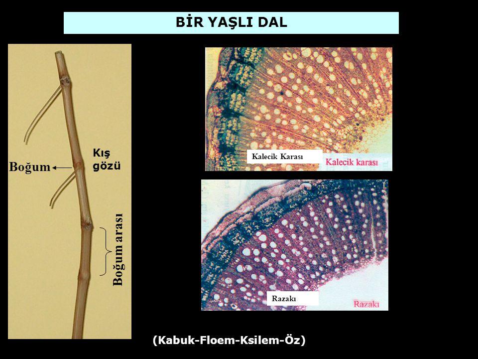 ASMADA GÖZ VE TOMURCUK SİSTEMİ Omca üzerinde bulundukları yere ve sürme zamanlarına göre; 1.Kış gözleri 2.Aktif tomurcuklar 3.Adventif gözler ve tomurcuklar 4.Pasif tomurcuklar