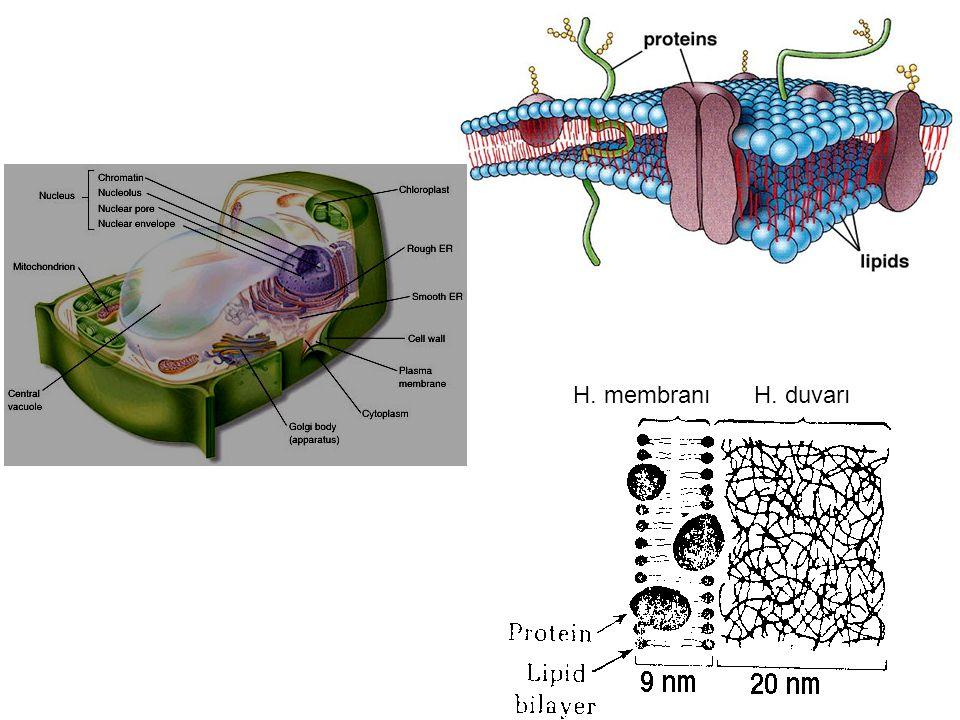 H. membranıH. duvarı