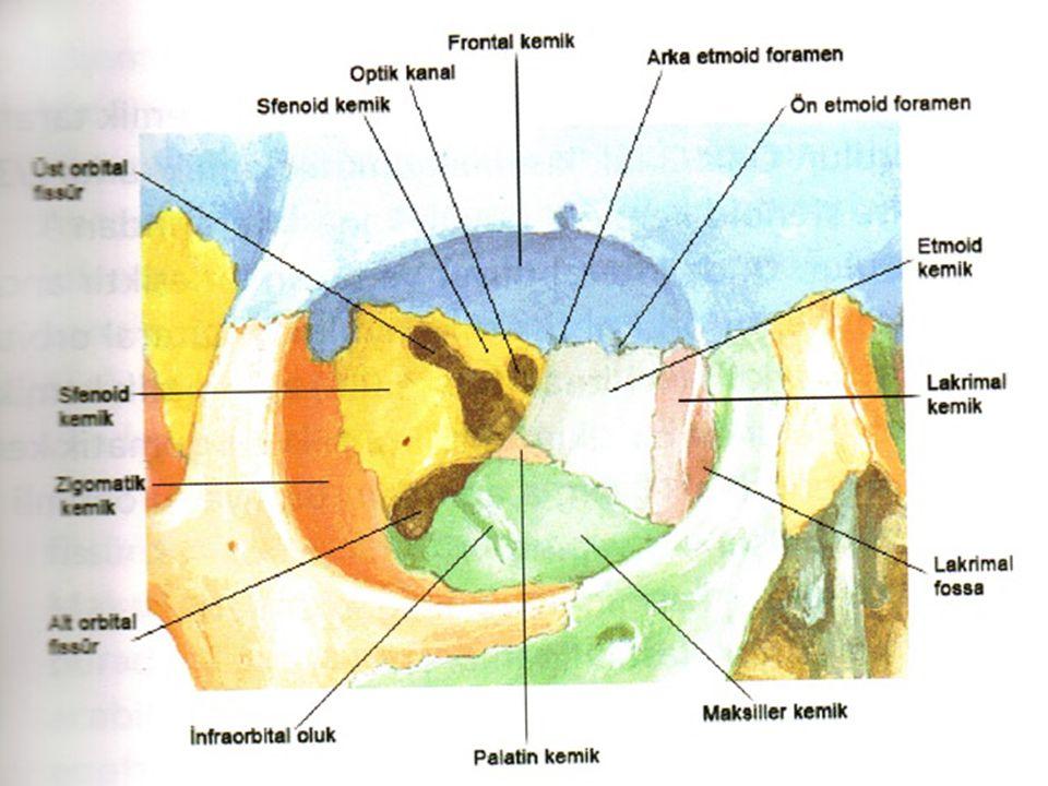 ORBİTAL KENARLAR Üst (superior) kenar -Frontal kemik -Supraorbital çentik --  Supraorbital damar ve sinir