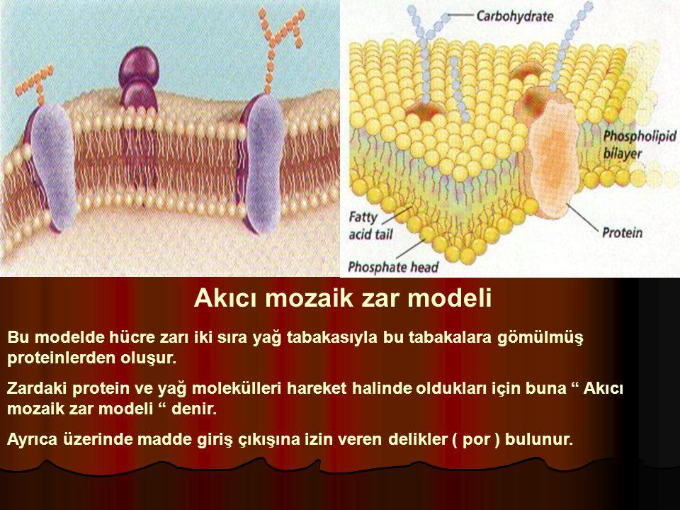 Akıcı mozaik zar modeli Bu modelde hücre zarı iki sıra yağ tabakasıyla bu tabakalara gömülmüş proteinlerden oluşur. Zardaki protein ve yağ molekülleri