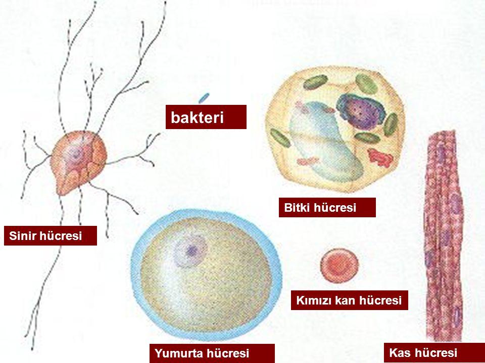 Sinir hücresi bakteri Bitki hücresi Kımızı kan hücresi Yumurta hücresi Kas hücresi