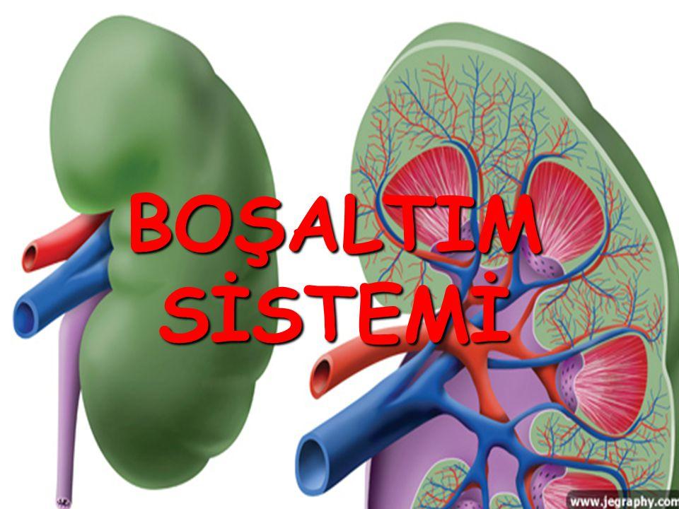 2- Aşağıdaki şekilde boşaltım sistemini oluşturan yapı ve organlar gösterilmiştir.