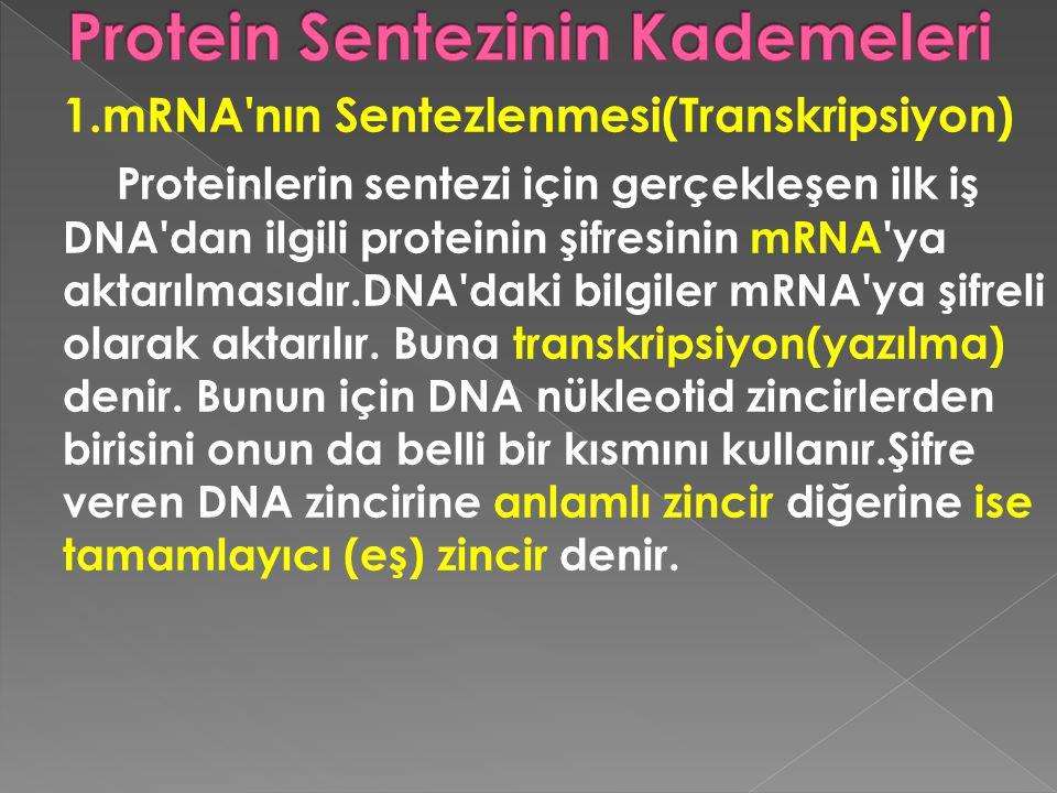 1.mRNA'nın Sentezlenmesi(Transkripsiyon) Proteinlerin sentezi için gerçekleşen ilk iş DNA'dan ilgili proteinin şifresinin mRNA'ya aktarılmasıdır.DNA'd