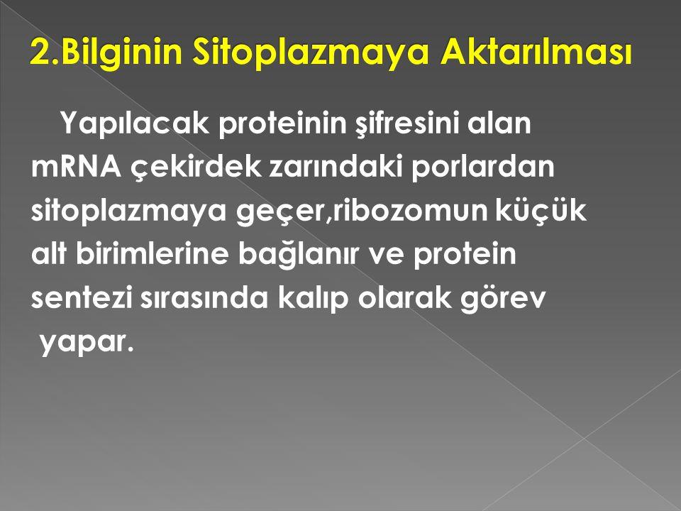 Yapılacak proteinin şifresini alan mRNA çekirdek zarındaki porlardan sitoplazmaya geçer,ribozomun küçük alt birimlerine bağlanır ve protein sentezi sı