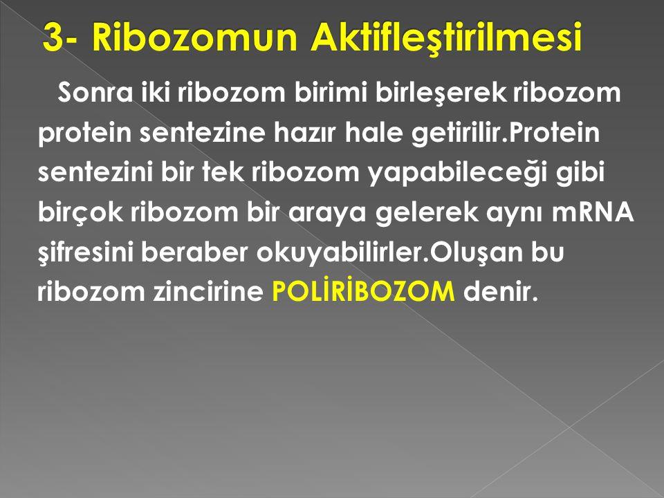 Sonra iki ribozom birimi birleşerek ribozom protein sentezine hazır hale getirilir.Protein sentezini bir tek ribozom yapabileceği gibi birçok ribozom