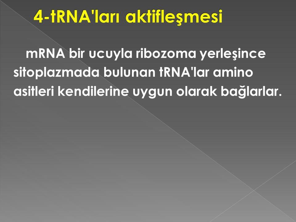 mRNA bir ucuyla ribozoma yerleşince sitoplazmada bulunan tRNA'lar amino asitleri kendilerine uygun olarak bağlarlar.