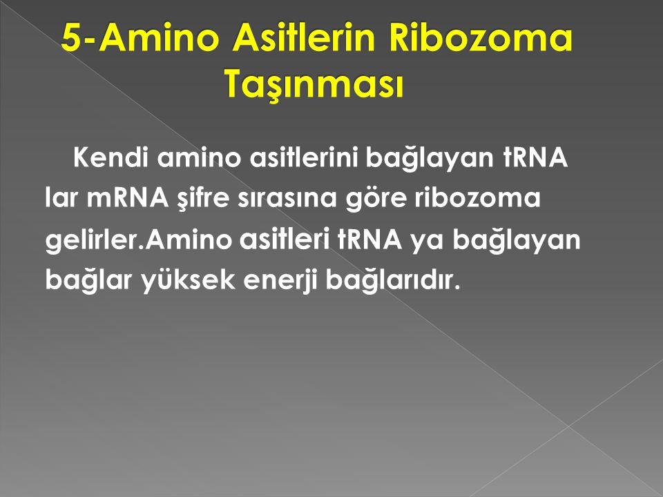 Kendi amino asitlerini bağlayan tRNA lar mRNA şifre sırasına göre ribozoma gelirler.Amino asitleri tRNA ya bağlayan bağlar yüksek enerji bağlarıdır.