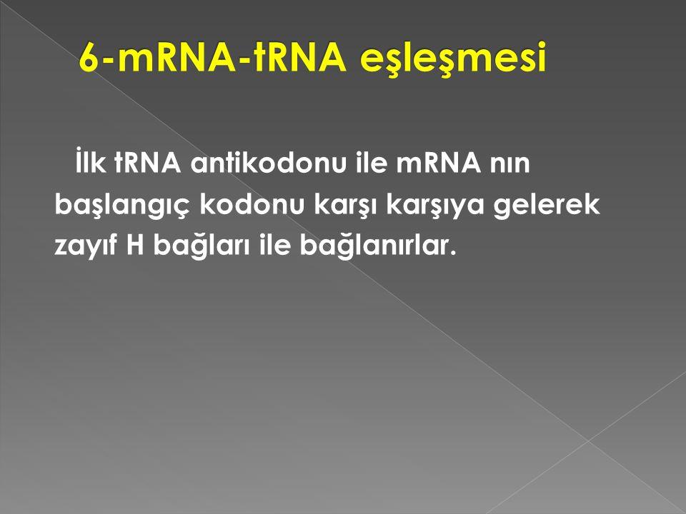 İlk tRNA antikodonu ile mRNA nın başlangıç kodonu karşı karşıya gelerek zayıf H bağları ile bağlanırlar.