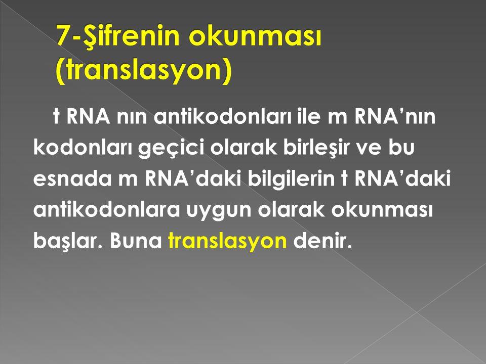 t RNA nın antikodonları ile m RNA'nın kodonları geçici olarak birleşir ve bu esnada m RNA'daki bilgilerin t RNA'daki antikodonlara uygun olarak okunma