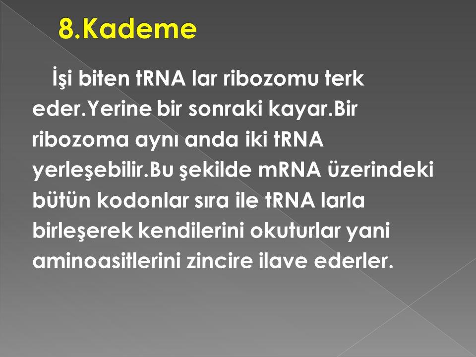 İşi biten tRNA lar ribozomu terk eder.Yerine bir sonraki kayar.Bir ribozoma aynı anda iki tRNA yerleşebilir.Bu şekilde mRNA üzerindeki bütün kodonlar
