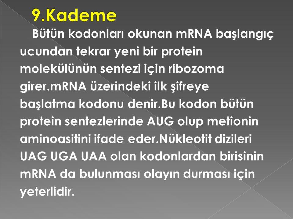 Bütün kodonları okunan mRNA başlangıç ucundan tekrar yeni bir protein molekülünün sentezi için ribozoma girer.mRNA üzerindeki ilk şifreye başlatma kod