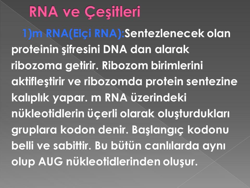 1)m RNA(Elçi RNA):Sentezlenecek olan proteinin şifresini DNA dan alarak ribozoma getirir. Ribozom birimlerini aktifleştirir ve ribozomda protein sente