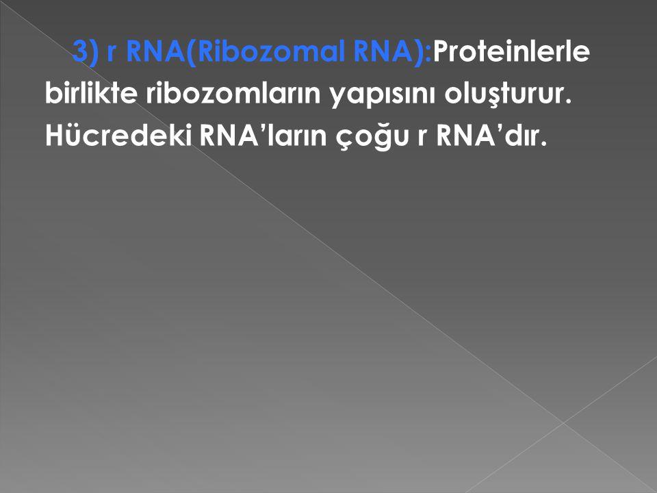 3) r RNA(Ribozomal RNA):Proteinlerle birlikte ribozomların yapısını oluşturur. Hücredeki RNA'ların çoğu r RNA'dır.