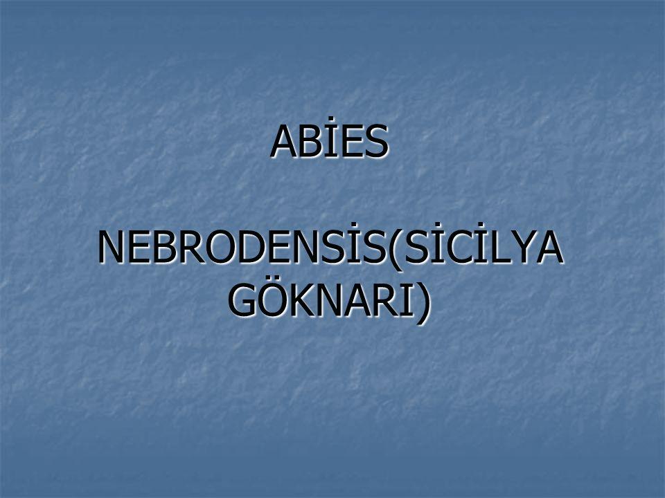 ABİES NEBRODENSİS(SİCİLYA GÖKNARI)
