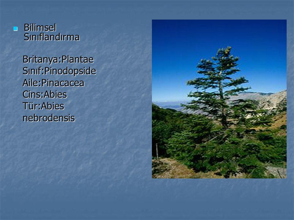 Bilimsel Sınıflandırma Bilimsel Sınıflandırma Britanya:PlantaeSınıf:PinodopsideAile:PinacaceaCins:Abies Tür:Abies nebrodensis