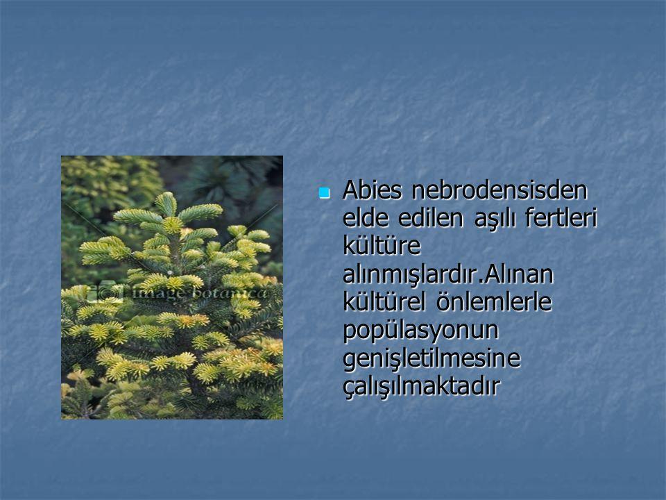 Abies nebrodensisden elde edilen aşılı fertleri kültüre alınmışlardır.Alınan kültürel önlemlerle popülasyonun genişletilmesine çalışılmaktadır Abies nebrodensisden elde edilen aşılı fertleri kültüre alınmışlardır.Alınan kültürel önlemlerle popülasyonun genişletilmesine çalışılmaktadır